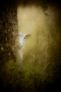 'The Shy Lamb' von loriental-photography