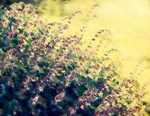 Salvia Impression von Linde Townsend