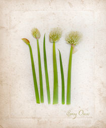 Spring Onion LIne Up by Linde Townsend