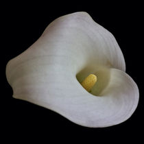 Calla Lily von David Pringle