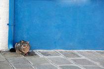 Graue Katze vor blauer Wand von STEFARO .