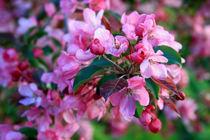 Apfelblütenrosa von Heidrun Lutz