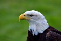 American  Balk Eagle by Kathleen Stephens