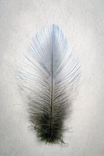 Mountain Bluebird Feather by Barbara Magnuson & Larry Kimball