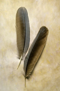 Pinyon Jay Feathers by Barbara Magnuson & Larry Kimball