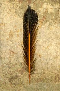 Bifr-0037-texturebkg-northern-flicker-colaptes-auratus-feather