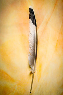 Dove feather II by Barbara Magnuson & Larry Kimball