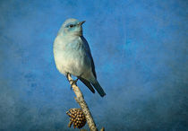 Bluebirds by Barbara Magnuson & Larry Kimball