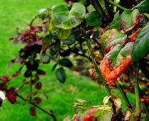 Thorns ... Sleeping Beauty von bebra