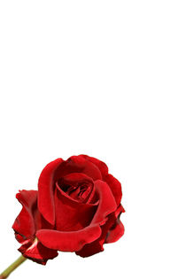 2003-06-07-300dpi-rote-rose-freigestellt-s-001