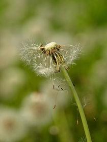 Gerade abgeflogen...und schon hat der Wind die Fallschirmchen der Pusteblume verweht by Brigitte Deus-Neumann