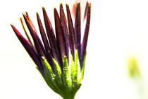 Blume by Detlef Koethner