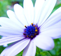 Purple Centred Daisy 2 by Rebekah Tyler-Harris