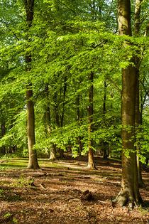 Spring Beech Woods by David Tinsley