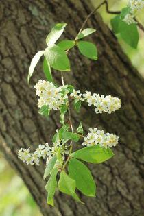 Blühende Traubenkirsche von Silke Bicker