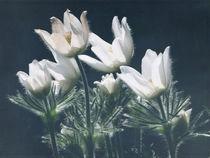 Frühlingsleuchten von Franziska Rullert