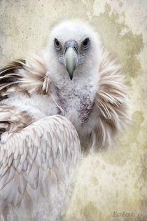 White Vulture by barbara orenya