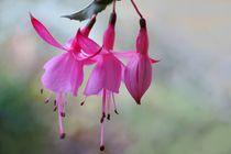 Drei Fuchsienblüten by Ingrid Eichhorst