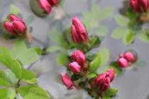 Rosa im Wasser von Silke Bicker