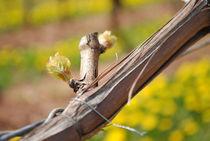 Frühling im Weinberg by hannahw