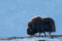 Musk ox in harsh environment von Nicklas Wijkmark