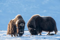 Musk oxen in Dovrefjell by Nicklas Wijkmark