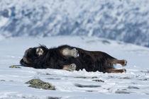Musk ox relaxing von Nicklas Wijkmark