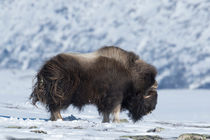 Big male musk ox von Nicklas Wijkmark