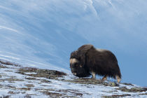 Musk ox in snowy environment by Nicklas Wijkmark