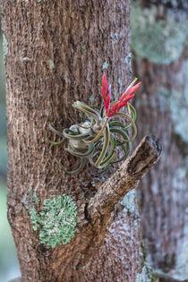 flowering bromelia by Craig Lapsley
