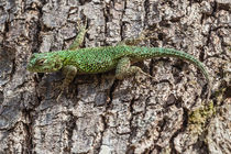Spiny green lizard von Craig Lapsley