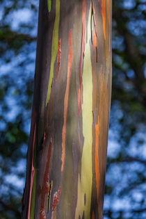 Rainbow tree bark von Craig Lapsley