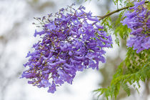flowering Jacaranda tree von Craig Lapsley