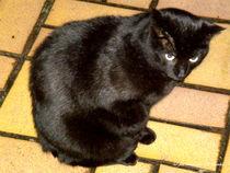 schwarze Katze schaut mißtrauisch von shark24