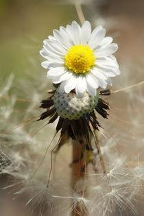 Dandelion-daisy