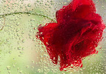 Red-rose-in-the-rain-2