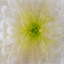 White Chrysanthemum von David Pringle