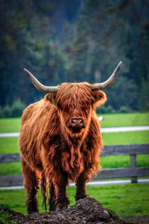 Highland cattle by Zoltan Duray