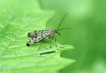 Scorpion Fly by dirk driesen