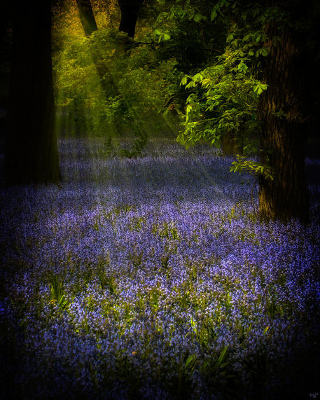 Thebluebellpatch