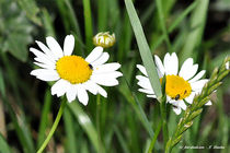 Blumen, Margeriten, Flora, Frühling von shark24