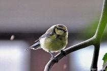 Singvogel auf einem Ast, Vögel,  von shark24