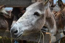 Esel in Kroatien von dietmar-weber