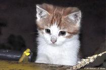 Kätzchen, Katze, Tiere, Tierkinder von shark24
