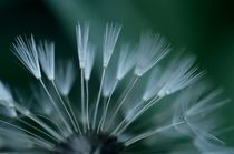 Dandelion by dirk driesen