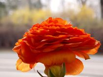 Apricot Anemone by bebra