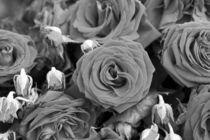 Rosen von kiwar