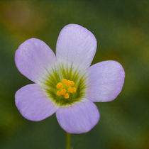 lilac oxalis flower by Craig Lapsley