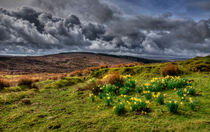 Daffodils on the moors by Rob Hawkins