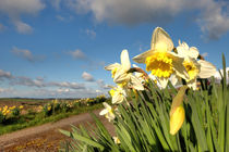 Spring Daffs  by Rob Hawkins